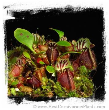 Cephalotus follicularis 'German Giant' (5 seeeds)