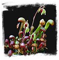 Darlingtonia californica {strong and hardy, UK clone} (30 seeds)