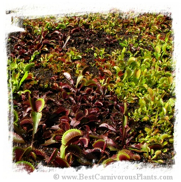 Dionaea muscipula {mix of different forms} (1000+ seeds)