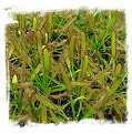 Drosera capensis {Narrow Leaf  Form} / 2+ plants
