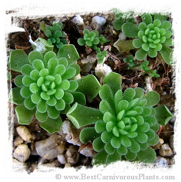 Pinguicula debbertiana {white flower} / 1+ plant